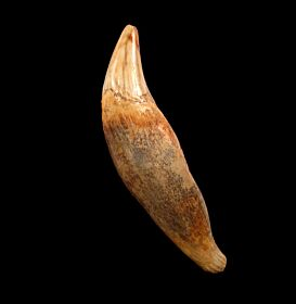 Rare cave bear canine tooth for sale | Buried Treasure Fossils