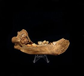 Cave Bear jaw for sale | Buried Treasure Fossils