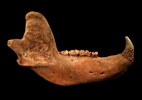 Adult Cave Bear jaw for sale | Buried Treasure Fossils