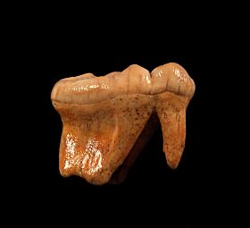 Ice Age cave bear molar for sale | Buried Treasure Fossils