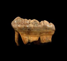 Cave bear incisor tooth for sale | Buried Treasure Fossils