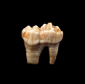 Large Urusus spelaeus tooth for sale | Buried Treasure Fossils