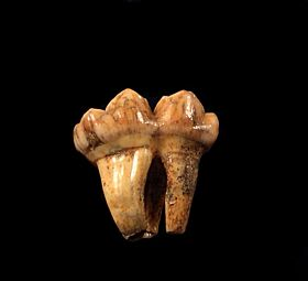 Rare Cave bear tooth for sale| Buried Treasure Fossils