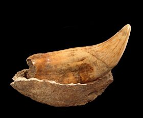 Ice Age cave bear canine for sale | Buried Treasure Fossils