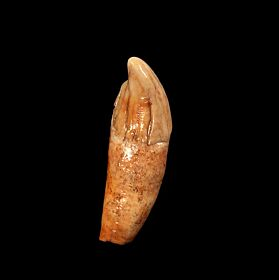 Ice Age bear incisor tooth for sale | Buried Treasure Fossils