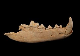 Ice Age Gray Wolf lower jaw for sale | Buried Treasure Fossils