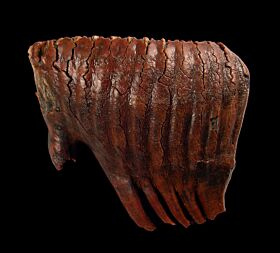 Wooly Mammoth Tooth