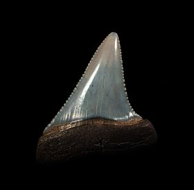 Big So. African Great White shark tooth for sale | Buried Treasure Fossils
