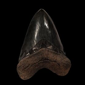 HUGE So. Carolina Megalodon tooth for sale | Buried Treasure Fossils
