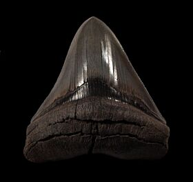 Gem Megalodon tooth for sale | Buried Treasure Fossils