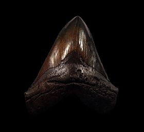 Nice black Megalodon tooth for sale | Buried Treasure Fossils