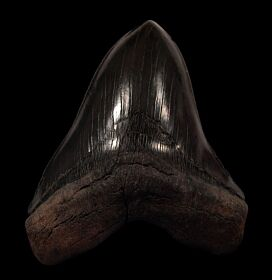 Extra Large Black Megalodon tooth for sale | Buried Treasure Fossils