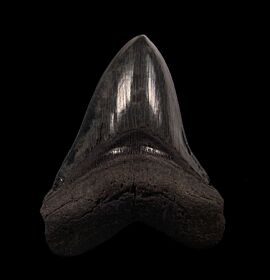 BIG So. Carolina Megalodon tooth for sale | Buried Treasure Fossils