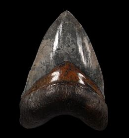 Extra Large Carolina Megalodon tooth for sale | Buried Treasure Fossils