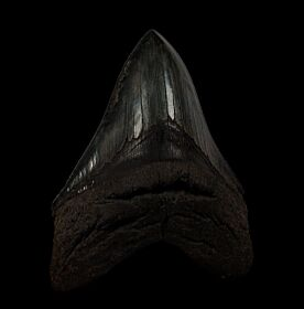 Nice black Megalodon tooth for sale   Buried Treasure Fossils