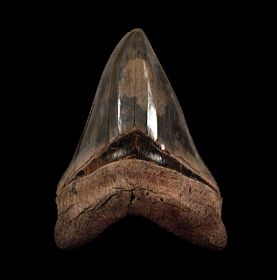 Top Quality Carolina Megalodon tooth for sale | Buried Treasure Fossils