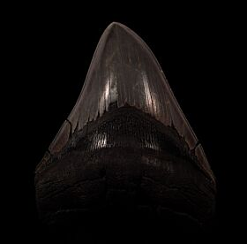 Black SC Megalodon tooth for sale | Buried Treasure Fossils