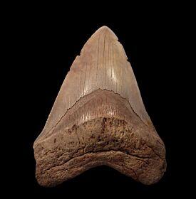 BIG Carolina Megalodon tooth for sale   Buried Treasure Fossils
