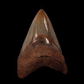 BIG SC Chubutensis tooth for sale | Buried Treasure Fossils