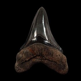 BIG Carolina Megalodon tooth for sale | Buried Treasure Fossils