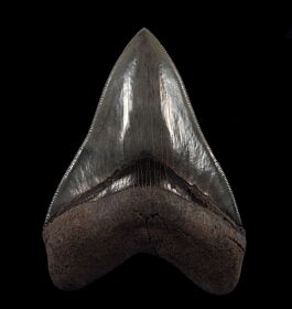 "A GEM 5-1/16"" Georgia Megalodon tooth"