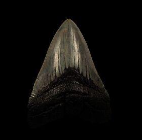 Serrated So. Carolina Megalodon tooth for sale | Buried Treasure Fossils