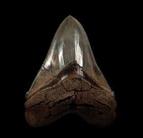 Rare So. Carolina Chubutensis tooth for sale   Buried Treasure Fossils