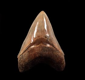 Gem brown Megalodon tooth for sale | Buried Treasure Fossils