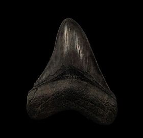 Nice SC Meg tooth for sale | Buried Treasure Fossils