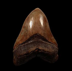 Extra Large Megalodon shark tooth for sale | Buried Treasure Fossils