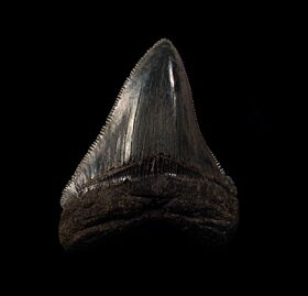 Real SC Meg tooth for sale | Buried Treasure Fossils