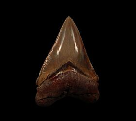Colorful Carolina Megalodon tooth for sale | Buried Treasure Fossils