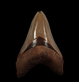 Top Quality Megalodon tooth from So. Carolina | Buried Treasure Fossils