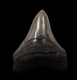 Gray SC Megalodon tooth for sale | Buried Treasure Fossils