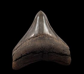An excellent Megalodon tooth for sale from So. Carolina.
