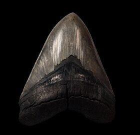 High quality SC Megalodon tooth for sale | Buried Treasure Fossils