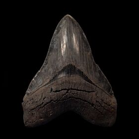 Extra Large SC Megalodon tooth for sale | Buried Treasure Fossils