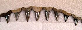 Isurus praecursor Dentition (Eocene)
