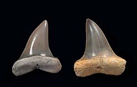 Isurus praecursor (Eocene)