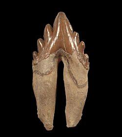 Zygorhiza kochii (Archaeocete whale)