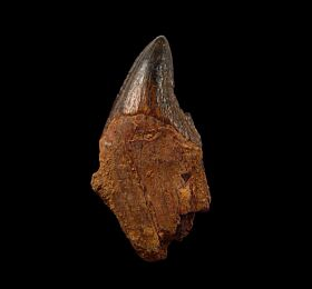 Archaeocete whale tooth for sale | Buried Treasure Fossils