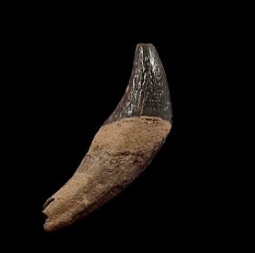 Archaeocete yoke tooth for sale | Buried Treasure Fossils