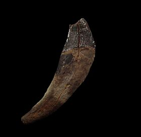 Archaeocete incisor from So. Carolina | Buried Treasure Fossils