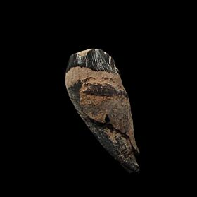 Large Archaeocete tooth from So. Carolina | Buried Treasure Fossils