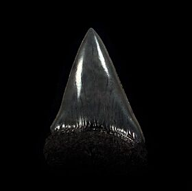 Black SC Big-tooth Mako tooth for sale | Buried Treasure Fossils