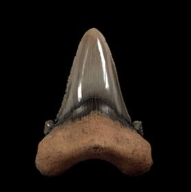 Big So. Carolina Auriculatus tooth for sale | Buried Treasure Fossils