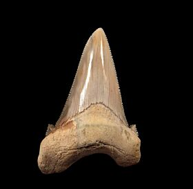 Quality Harleyville Auriculatus tooth for sale from So. Carolina | Buried Treasure Fossils