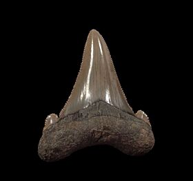 Harleyville Auriculatus tooth for sale | Buried Treasure Fossils