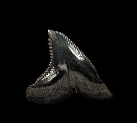 Real SC Hemipristis tooth for sale | Buried Treasure Fossils