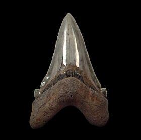 Big Summerville Angustidens for sale | Buried Treasure Fossils
